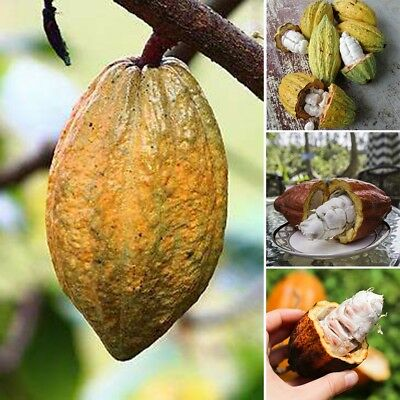 40pcs Chocolate Cacao Tree Seeds Cocoa Fruit Seed Theobroma Home Garden Plant