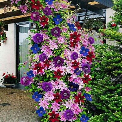 50PCS Multicolor mixed clematis climbing plants seeds flower home garden Best