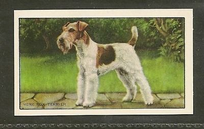 1936 UK Dog Art Body Gallaher A Series Cigarette Card WIRE HAIRED FOX TERRIER