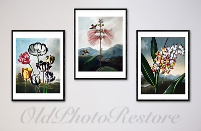 VINTAGE FLOWER FINE ART PRINTS by ROBERT THORNTON. ARCHIVAL QUALITY GUARANTEED.