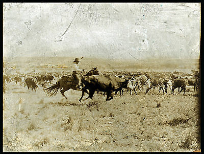 1907 photo, Erwin Smith, Cowboy, roping, cows, antique America OLD WEST