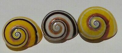 POLYMITA ] BEAUTIFUL LAND SNAIl  3 MM ][ OLD COLLECTION ]