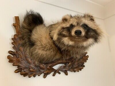 Taxidermy Raccoon Wall Mounted On Hand Carved Wood