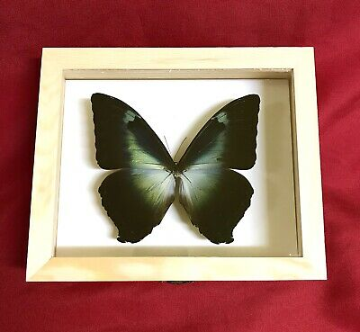 Real Framed Butterfly Morpho Cisseis Gahua Taxidermy Insects