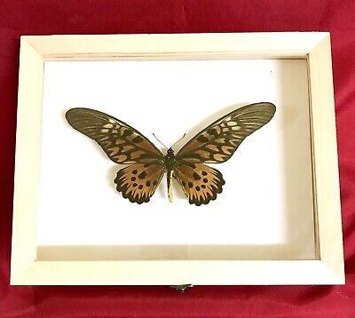 Real Framed Butterfly Papilio Antimachus Taxidermy Insects