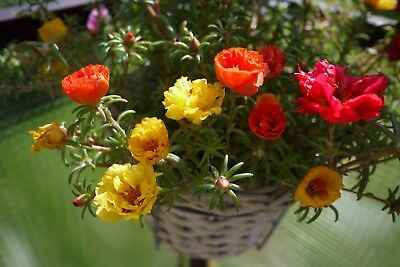 Moss Rose Double Flowered Mix Portulaca 300 seeds