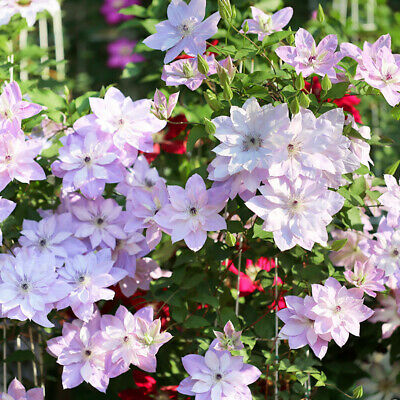Clematis 24Colors Mixed 50PCS New Flower Climbing Plants Seeds Home Garden Decor