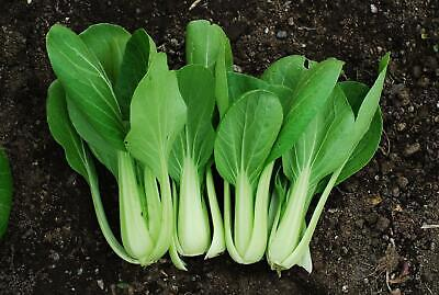 Pak Choi White Stemmed (Chinese Cabbage) Vegetable Seeds