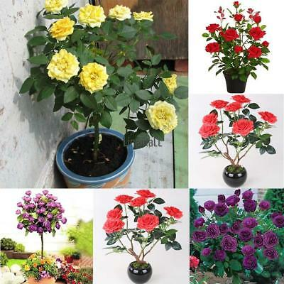 50pcs Pink Red Rose Tree Seeds Perennial Flower Garden Decor Plant Seed LM