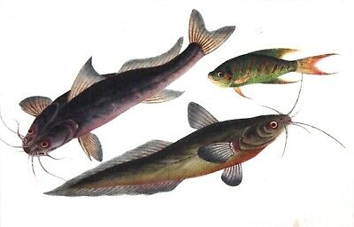 Antique Chinese Trade Gouache Painting on Pith Paper, Study of 3 Fisches 1840/50