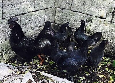 Ayam Cemani Hatching Fertile Eggs X24 running with two Cockrells