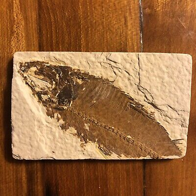 50 Million Year Old Fish Fossil Green River Formation Wyoming USA Authentic Nice
