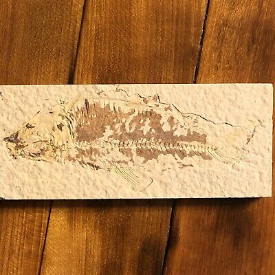 50 Million Year Old Fish Fossil Green River Formation Wyoming USA Authentic Cool