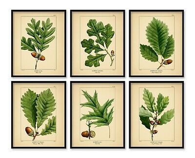 OAK TREE PRINTS 8x10 inch Botanical Art Poster Picture Acorn Green A4 Set of 6