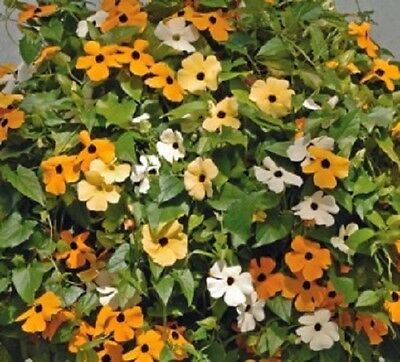 Thunbergia alata 'Sunrise Mixed' / Climber / 15 Seeds
