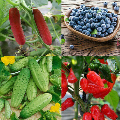 NON-GMO Vegetable Fruit Seeds Cucumber Titus F1 Blueberry The Bhut Jolokia Seed