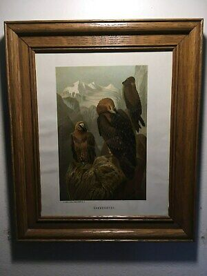 "Framed Antique Chromolithograph,""Lammergeyer"",Bearded Vulture,on Mountain Peak!!"
