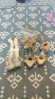 Lot of weathered horse/cow vertebre bones skeleton skull taxidermy