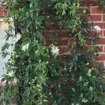 Passiflora 'Snow Queen' White Passion Flower Hardy Shrub Climber | 9cm Pot