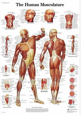 60886 Human Anatomy Muscles System Decor Wall Poster Print AU