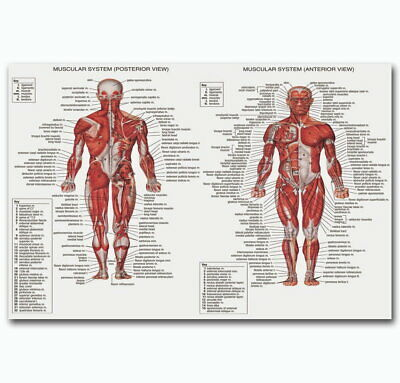 60342 Male Muscular System ANATOMICAL Ch Human Body Me Wall Poster Print AU