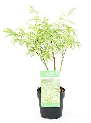 1 X ACER Japanese Maple,Acer Small Tree acer Butterfly  GARDEN PLANT 9cm pot