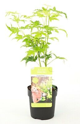 1 X ACER going green DECIDUOUS JAPANESE MAPLE TREE HARDY GARDEN PLANT 9cm pot