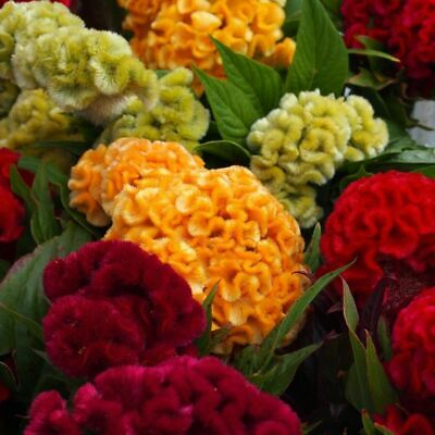Real 500pcs flower Seeds Cockscomb Celosia Crested mix Cut Flower easy grow #A01
