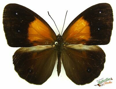 Mycalesis mucia real butterfly  A1- SET x1 entomology specimen Indonesia insect.