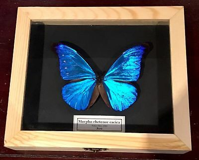 Real Framed Butterfly Morpho rhetenor cacica!! Taxidermy Insects