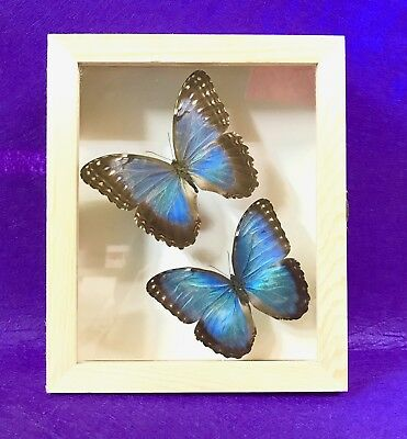 Real Framed Butterfly - Pair morpho helenor montezuma - Taxidermy Insects