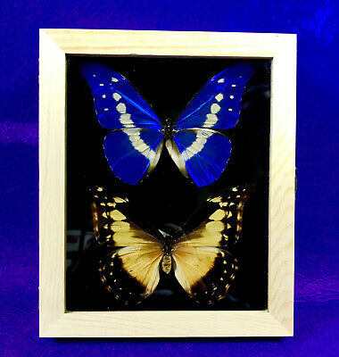 Real Framed Butterfly - Pair morpho rhetenor helena - Taxidermy Insects