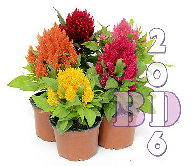 FLOWER PLUMED COCKSCOMB TALL MIX - 320 SEEDS - Celosia plumosa - Orig. Pack_133