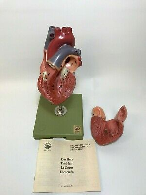 Somso 2-Part Human Heart Model with Stand
