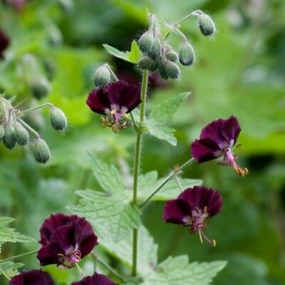 Geranium phaeum / Black Widow or Dusky Cranesbill / 20 Seeds