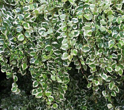 Ficus Pumila Variegata Creeping Fig 9cm pot Please read description