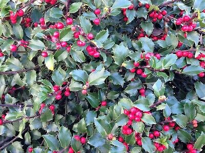 Shrub Evergreen CombSH M41 5 Michelia macclurei seeds Very Fragrant