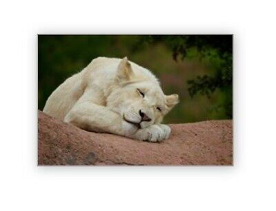 "24"" x 36"" Poster Print Sleeping White Lion Cub Art Photography"