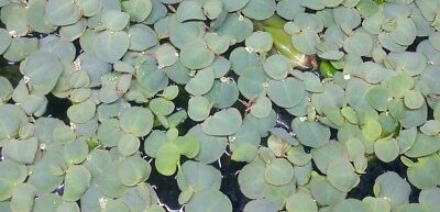 20 Red Root Floaters- Phyllanthus Fluitans