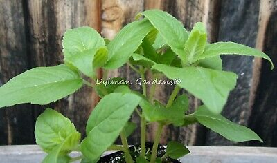 20+ CREEPING CHARLIE Glechoma hederacea live plant ground
