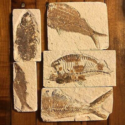 5x 50 Million Year Old Fish Fossil Green River Formation Wyoming USA Authentic