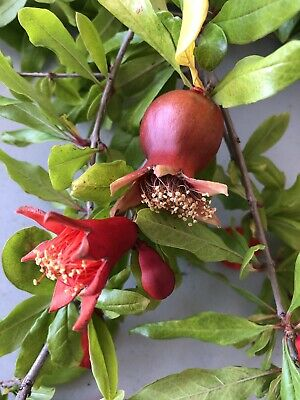 RARE Pomegranate tree LIVE PLANT 3 Cuttings SCION not seeds BONSAI organic