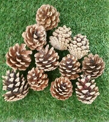 Austriaca  Pine Cones 5 - 8 cm  5 kg Excellent quality approximately 200 cones