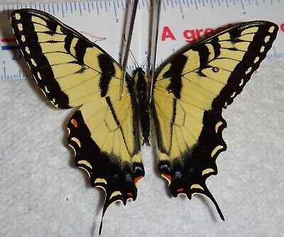Papilionidae Papilio glaucus Indiana #Z74 Tiger Swallowtail Butterfly Aberration