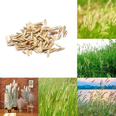 50pcs/Bag Foxtail Viridis Bristlegrass Ornamental Grass Setaria Viridis ILOE 01