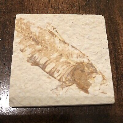 50 Million Year Old Fish Fossil Green River Formation Wyoming USA Authentic -1