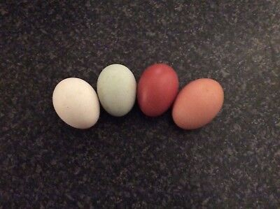 Hatching Eggs X **12 Special Mix Of Pure Bred Large Fowl **