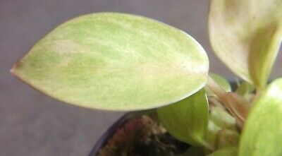 Philodendron Painted Lady Young Seed Grown Plant And Babies So Nice Number 5