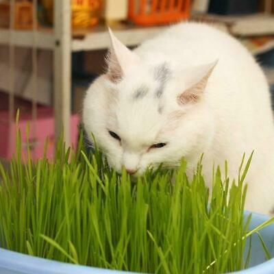 30gms Sweet Oat Grass Seeds Grown In Sussex For Cats And Other Pets Health M8I3