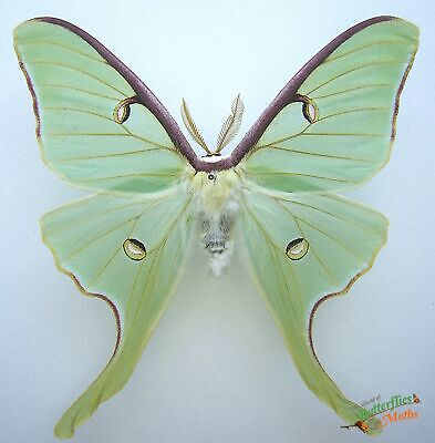 Entomology Actias Luna Lime Green Purple Edge REAL Silk Moon Moth  SET x1 FM A1